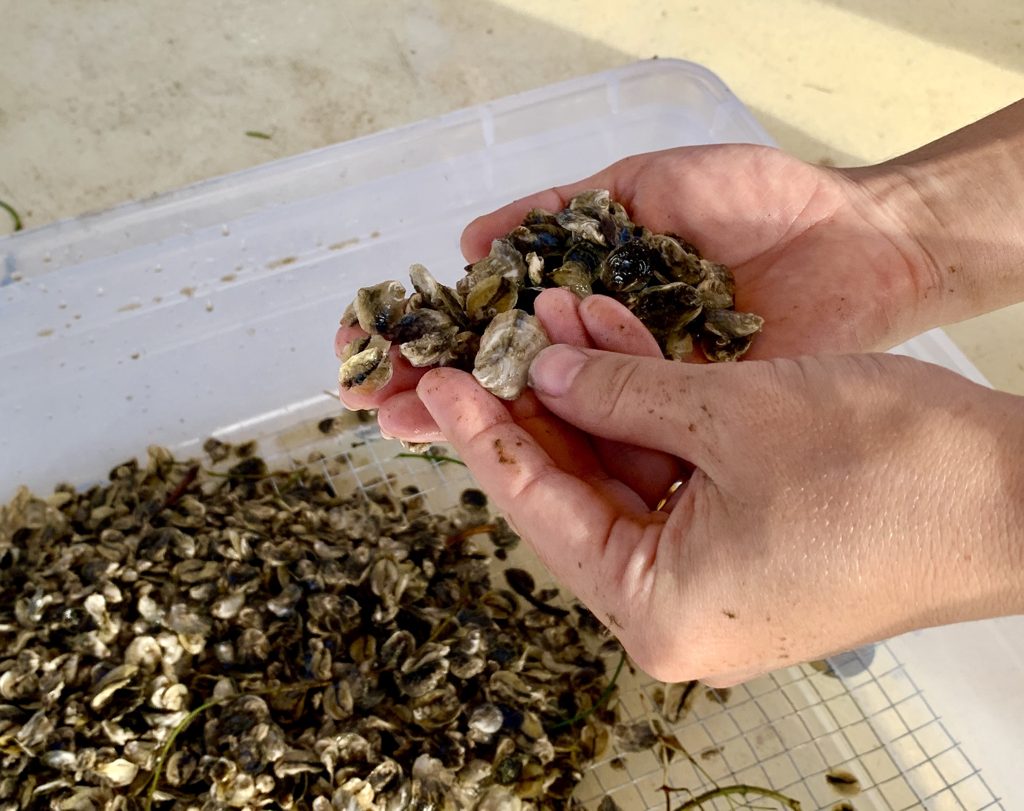 Local Couple Brings Local Oysters Back to the Bay Area